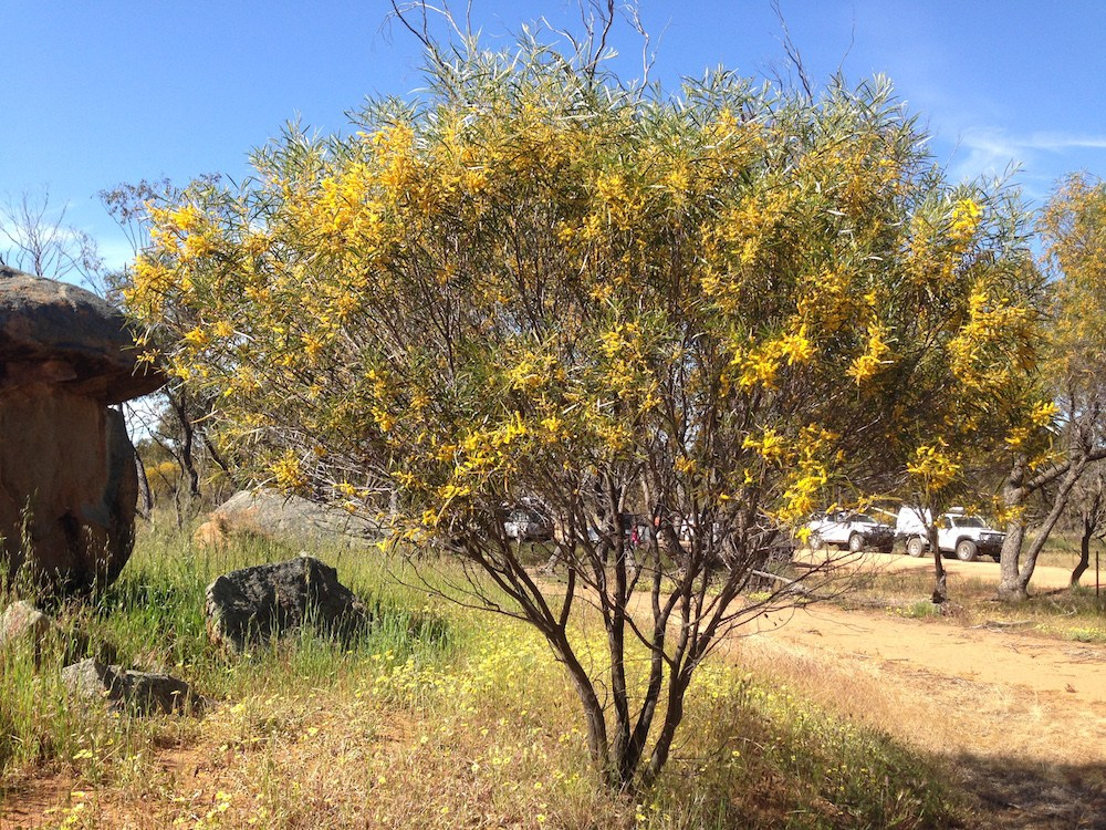 Wattle in flower near Kellerberrin.
