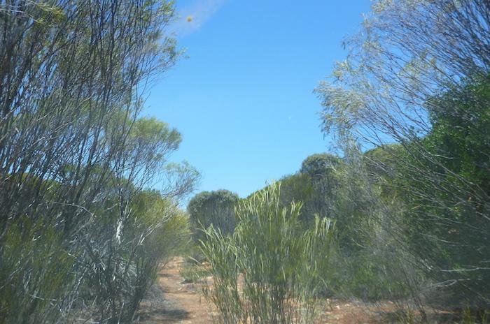 Regrowth saplings.